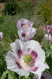 Elka White Seeded Poppy