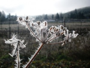Frosty Fennel