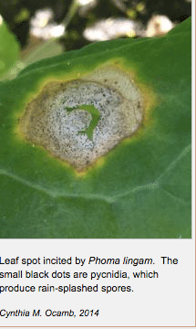 Phoma lingam at leaf spot stage