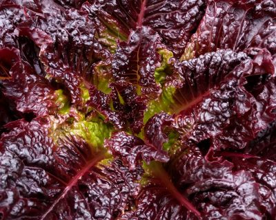 Red Evolution Lettuce